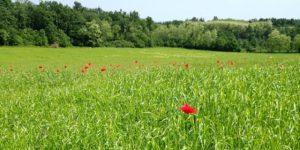 polje makov narava